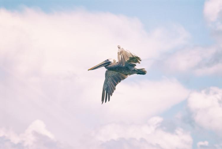 flight pelican, VI Maria Island - christofkessemeier | ello