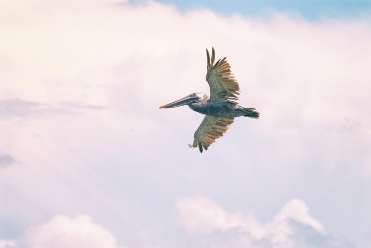 flight pelican, VII Maria Islan - christofkessemeier | ello