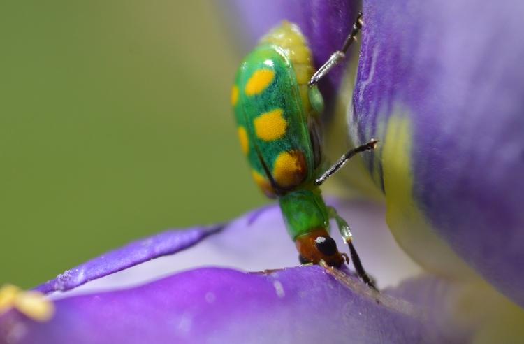 Brazilian beetle - jutebar | ello