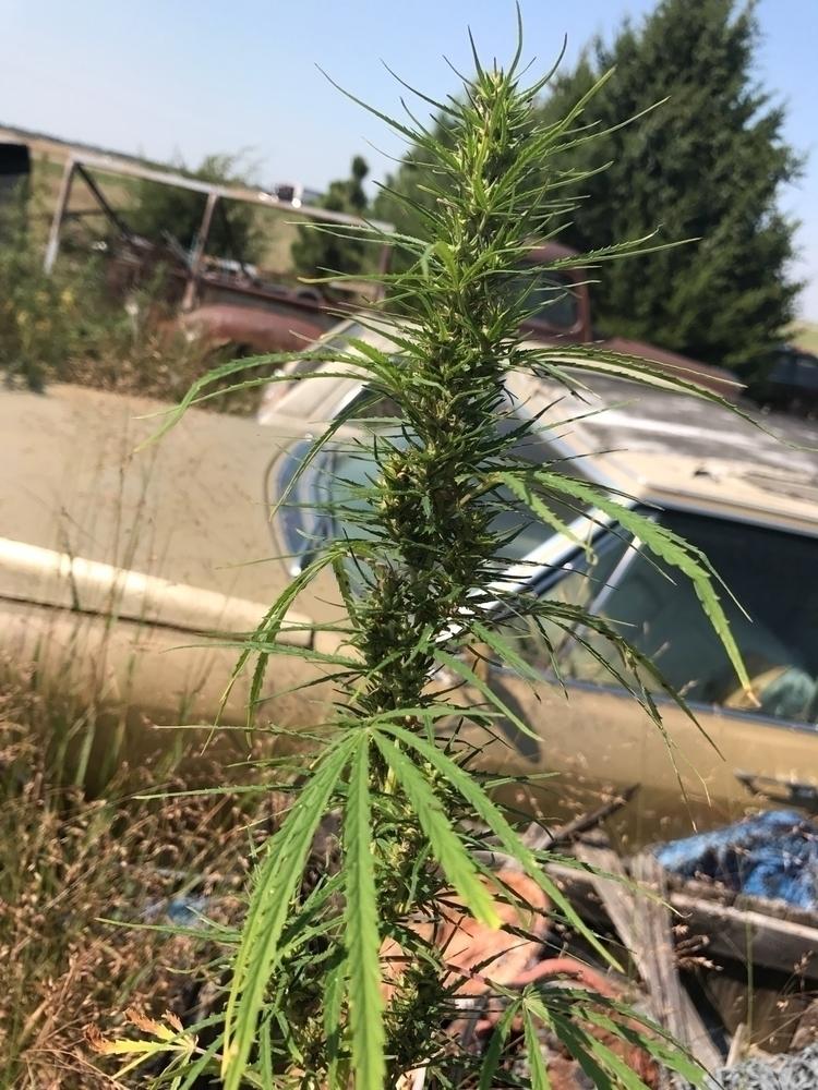 cannabis, ellocannabis, marijuana - ellocannabis | ello
