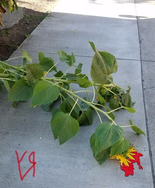 Sunflowers (Casualties) Richard - richardfyates | ello