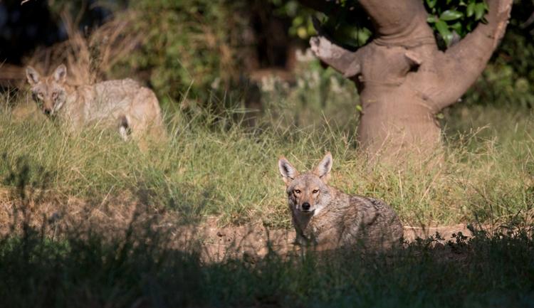 Coyotes, Orcutt Ranch, West San - ellomaggie | ello