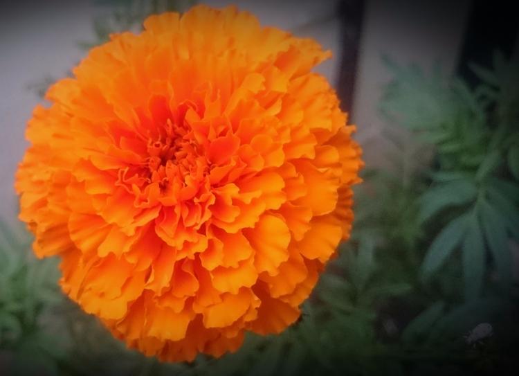 India, Marigold - atulbw | ello