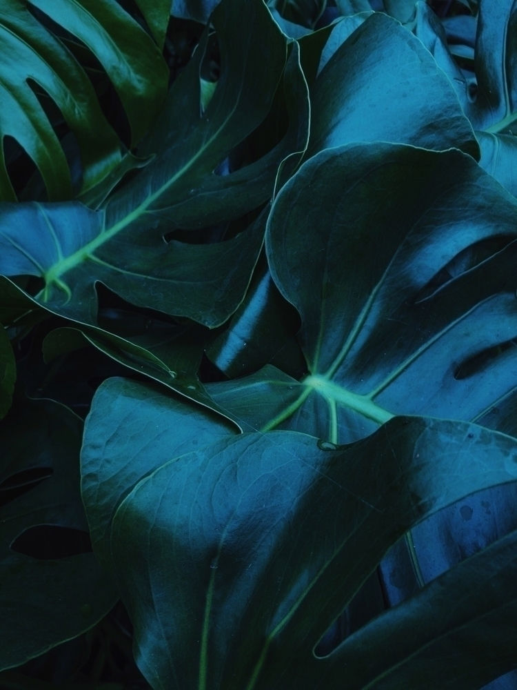 leaf, monstera, lowlight, closeup - oliviermorisse | ello