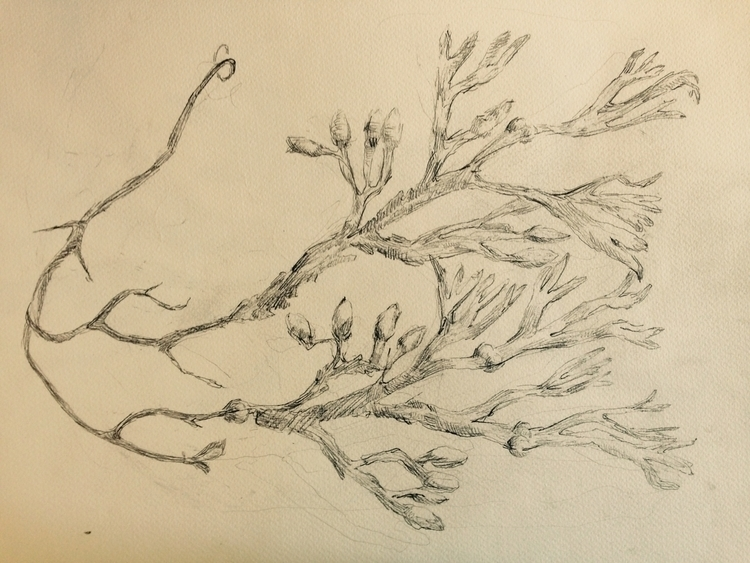 Seaweed. Drawing. Original work - neeldichabrahamsen | ello
