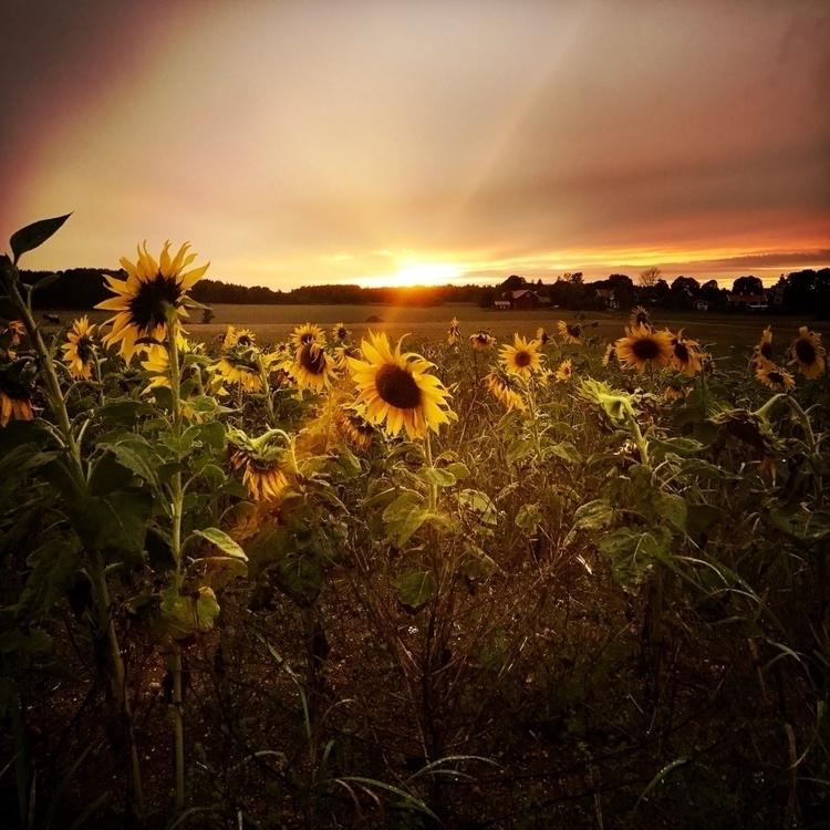 Struck light - sunset, sunflowers - yogiwod | ello