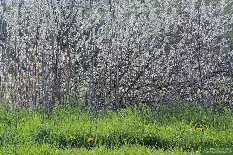 Composition Blooming Blackthorn - pawelwiesyk | ello
