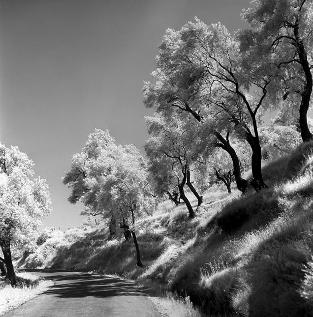 Corfu, Greece 1959 Olive trees  - nickdewolfphotoarchive   ello