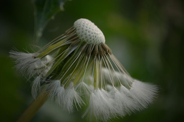 Dandelion* - Dandelions care ti - jutebar | ello