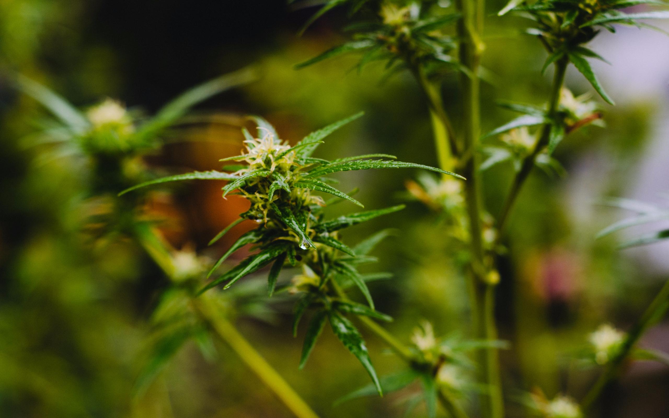 Outdoor Cannabis - cannabis, nature - shanerounce | ello