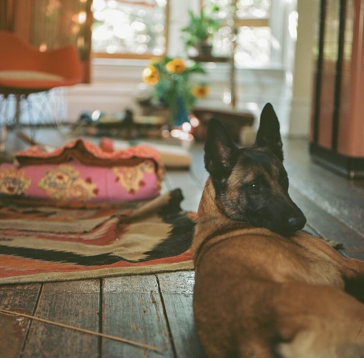 malinois, hasselblad500cm, dogphotography - teetonka | ello
