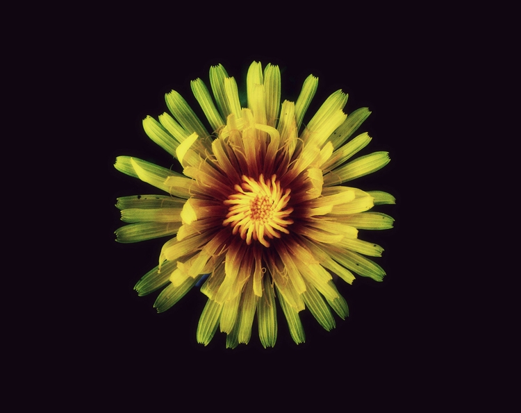 Dandelion - jasonlowder-project | ello