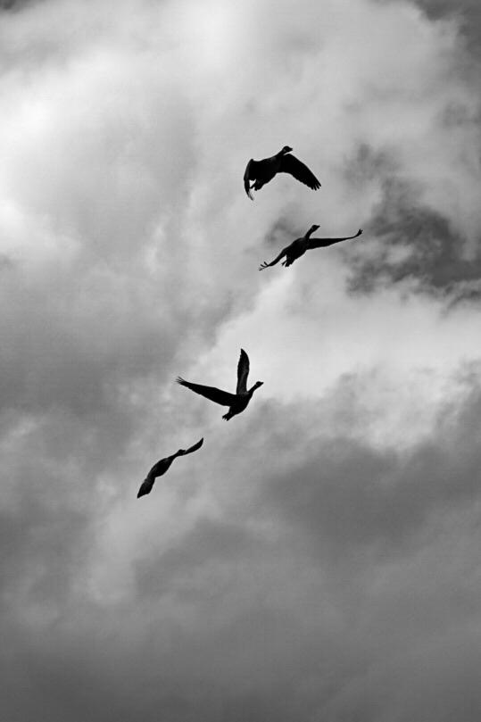 Summers Canada Geese flying ove - greyswan | ello
