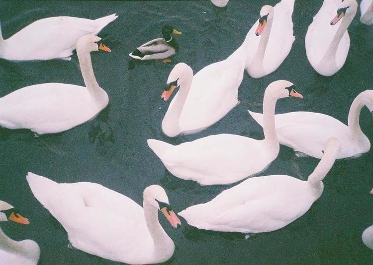art, photography, scenic, swans - mimisdrawingbook | ello