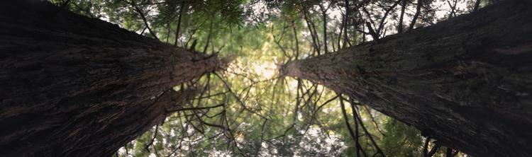 Myopian Redwood Canopy nature e - blakeh | ello