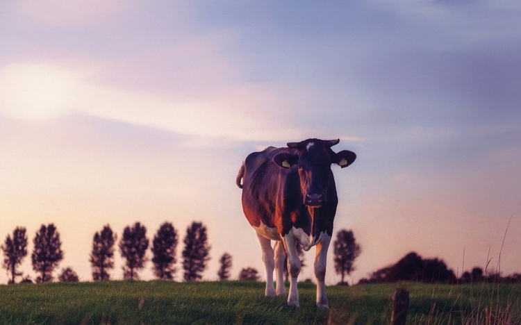 Pet Month - animals, color, cow - klaasphoto | ello