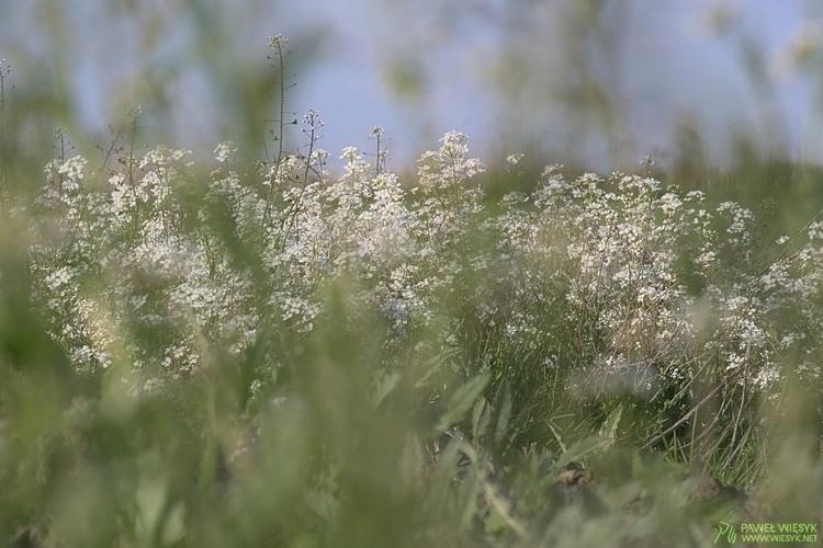 White Flowers Spring - photography - pawelwiesyk | ello