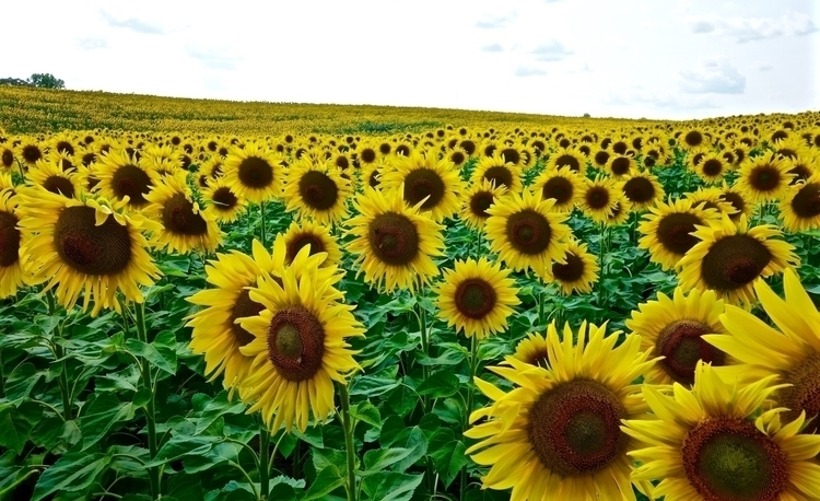 Sunflowers, Summer 2017   Photo - petersabbagh   ello