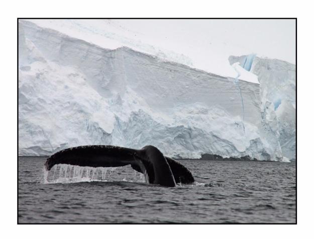 Humpback Whale, Orne Harbor, An - etbtravelphotography | ello
