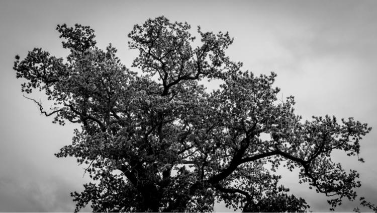 Autumnal Oak - photography, landscape - davidhawkinsweeks | ello