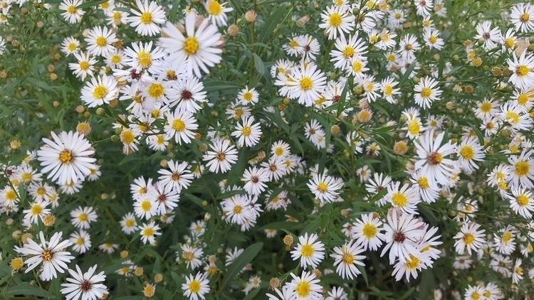 nature, daisy, flowers - nutsefe | ello