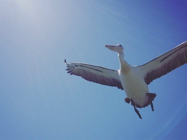 Pelican flying high - elkemichelle | ello