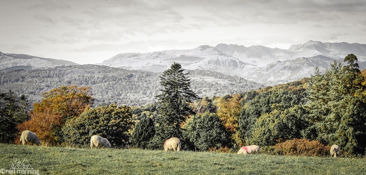 busy grazing - sheep, autumn, centralfells - the-wooks | ello