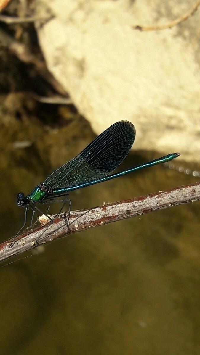 yusufçuk, dragonfly - nethanfox | ello