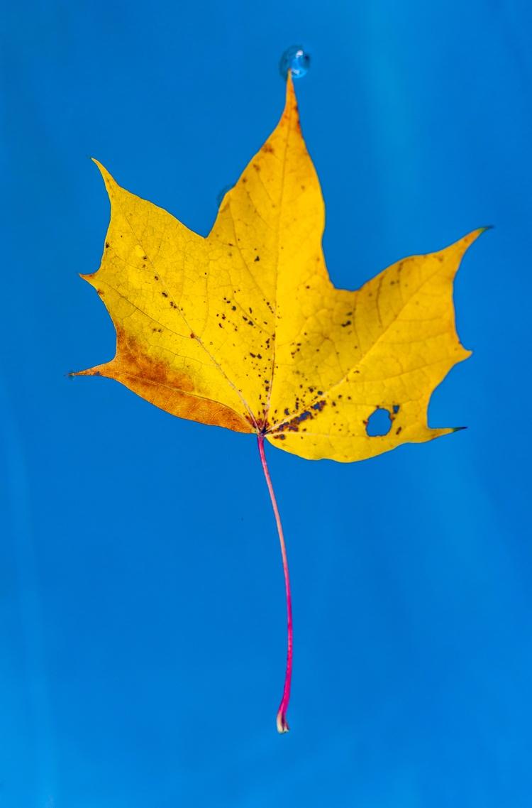 Autumn leaf - photography, autumn - anttitassberg | ello