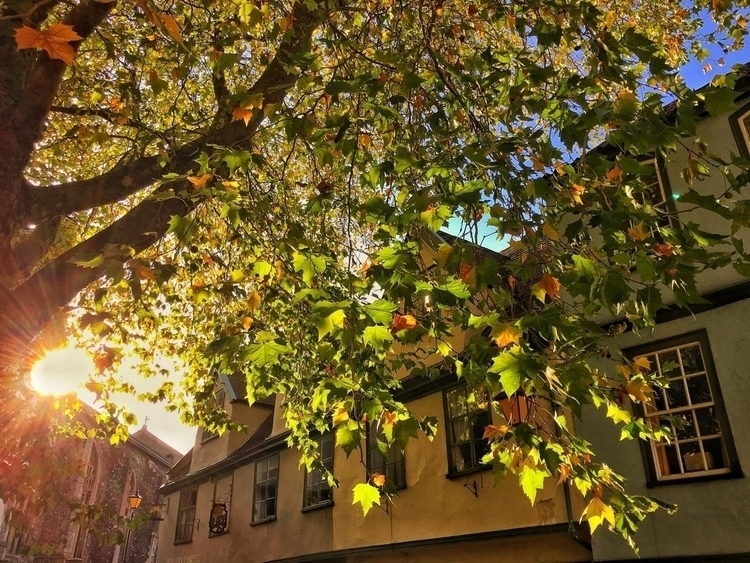 London Plane Tree, Norwich - tree - davidhawkinsweeks | ello