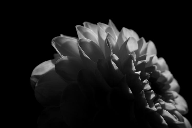 ears - photography, flower, blackandwhite - marcushammerschmitt | ello
