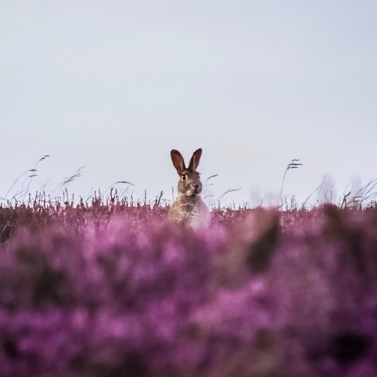 Hare Heather - jamesallinson | ello