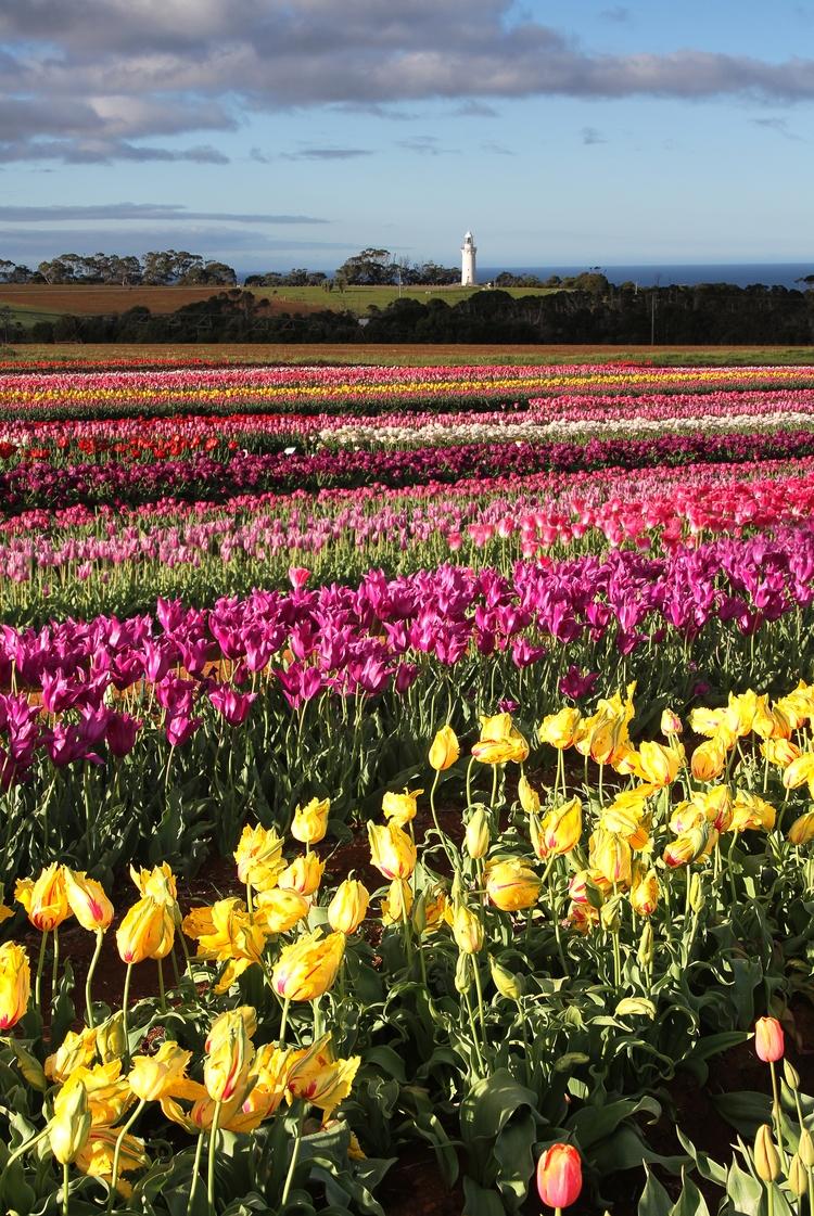 Cable Tape Tulip Farm - Tasmania. - b_goat | ello
