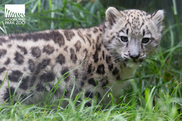 Snow Leopard Cub Takes - wildlife - red_wolf | ello