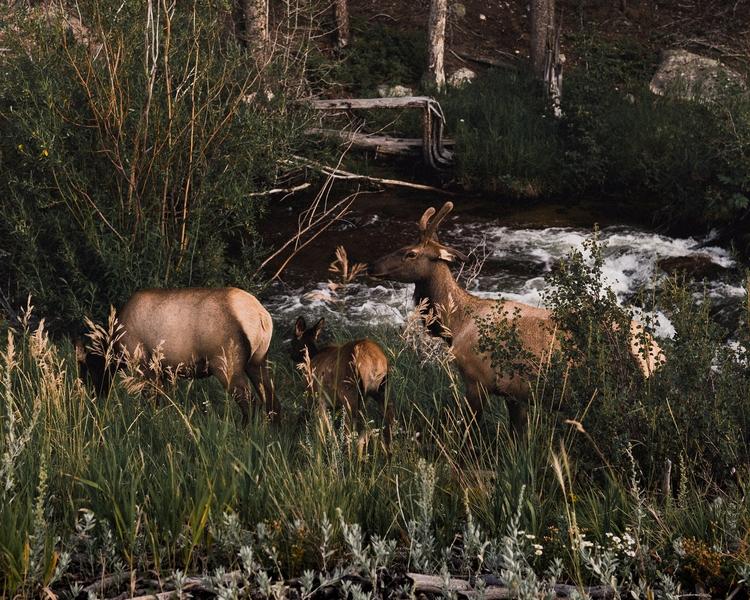 Family River - deer, nationalpark - andrewwee   ello