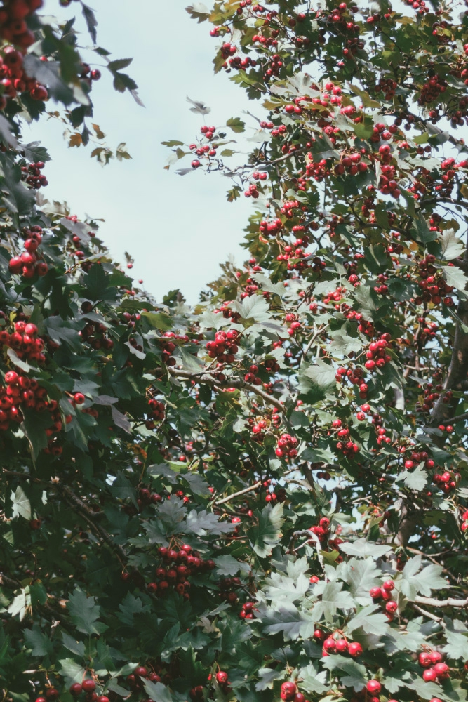 Hawthorn - hawthorn, berries, leaves - andreigrigorev   ello