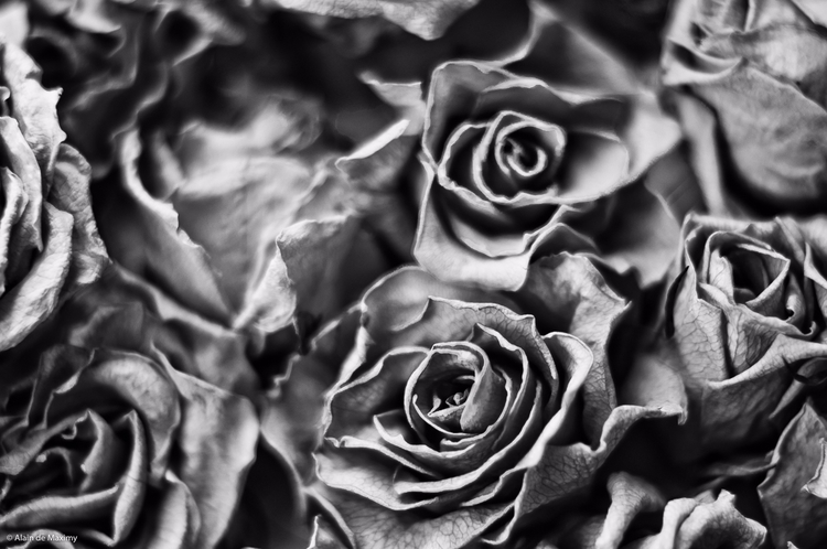 Dry Roses [1 - rose, roses, flowers - maximy | ello
