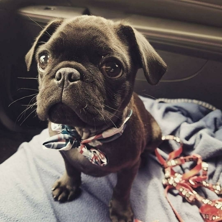 fly bowtie - pug, dog, pets - this_guy | ello