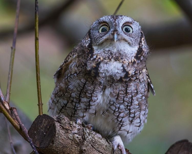 Screech owl - donwisejr | ello