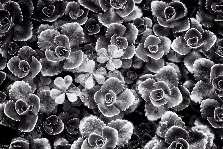 Succulent Crassula Clover [1 - plant - maximy   ello