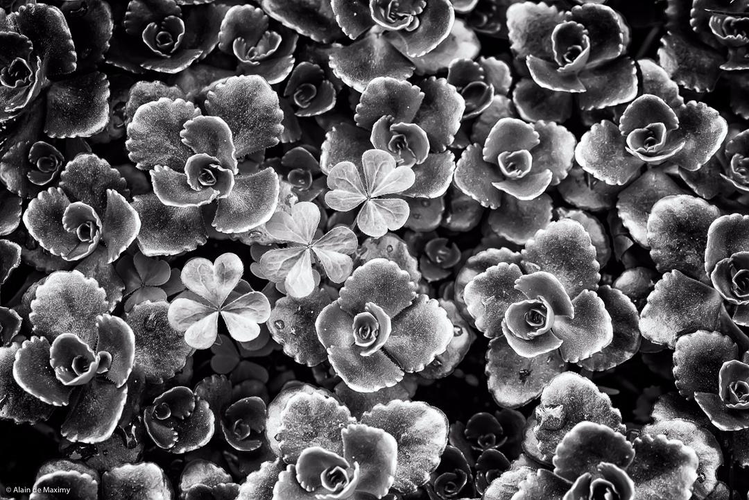 Succulent Crassula Clover [1 - plant - maximy | ello