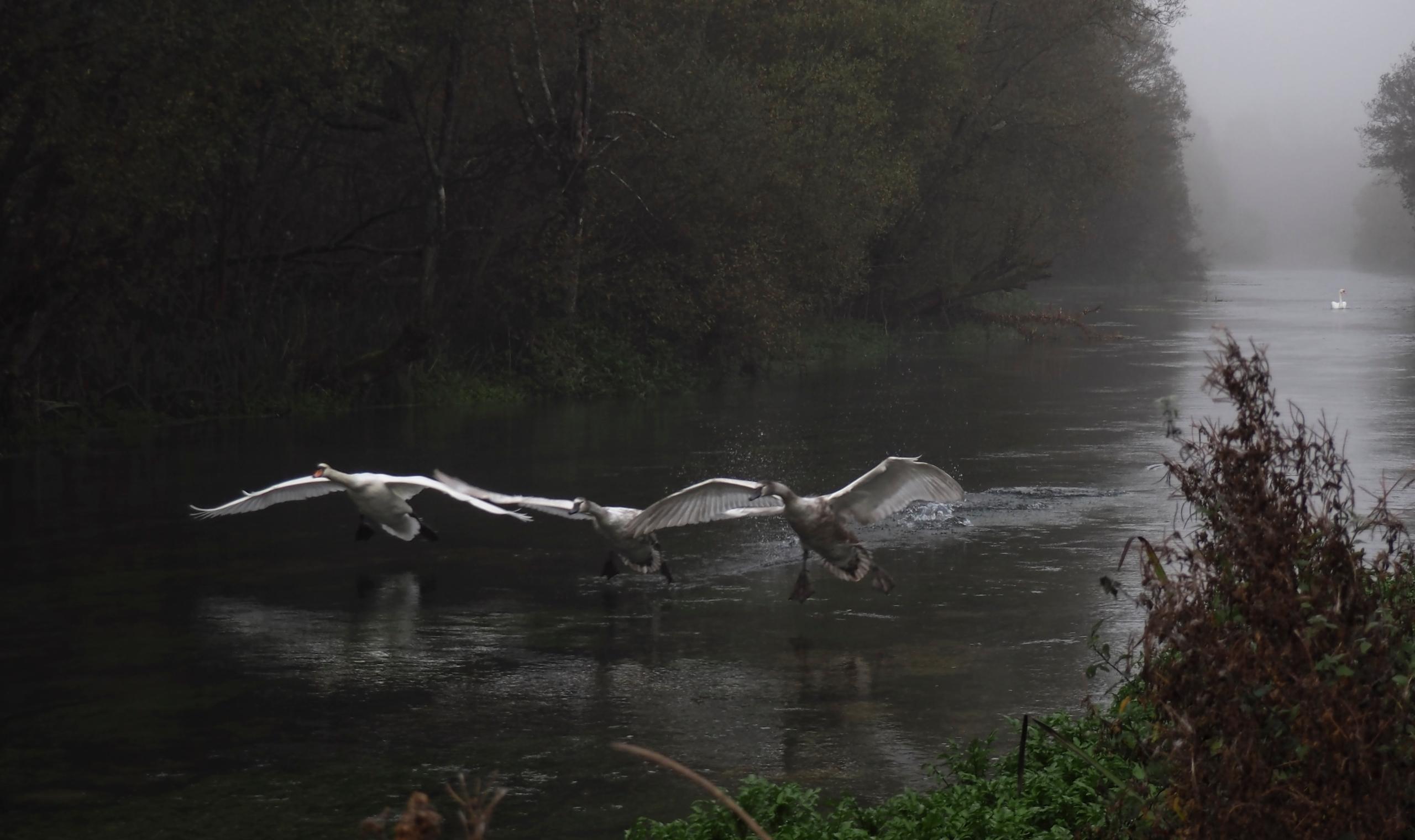 Flying Swans - Mum young swans  - neilhoward | ello