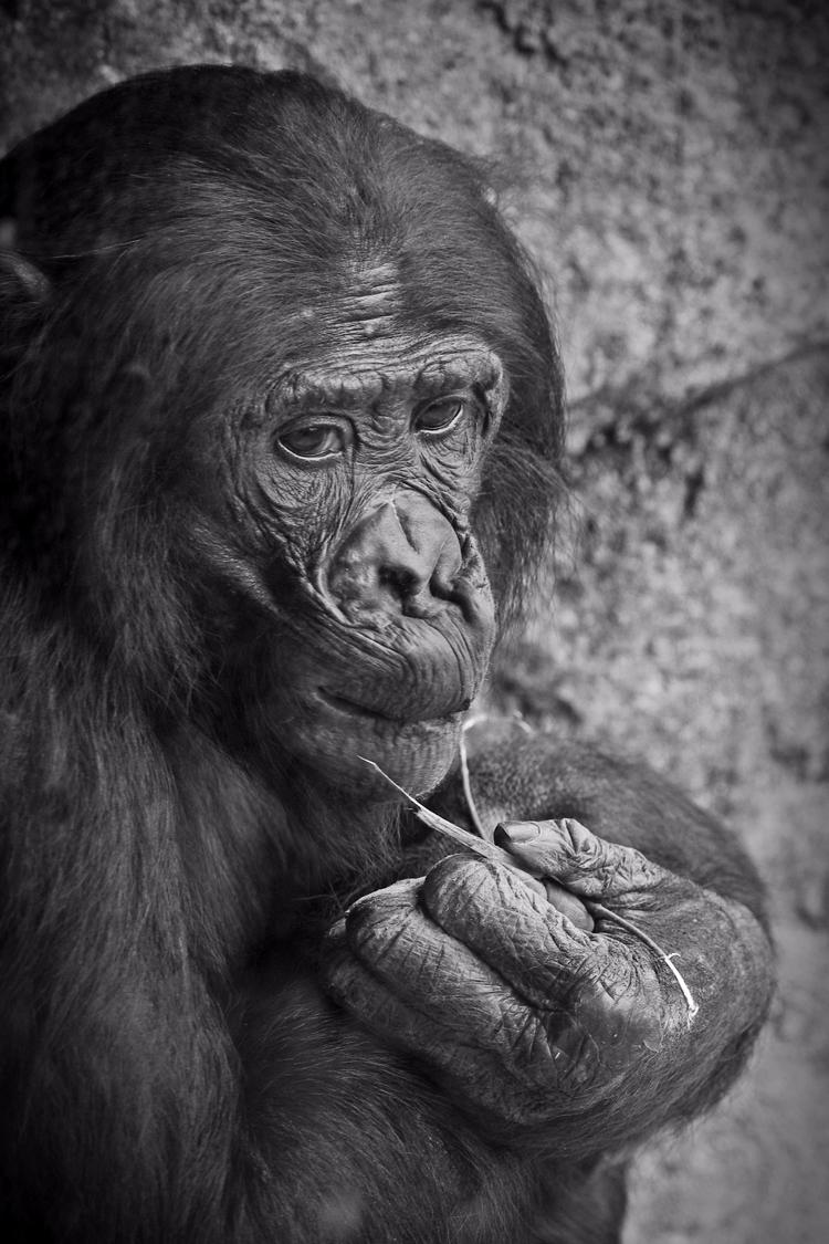 Bonobo - ape, apes, bonobo, animals - chetkresiak | ello