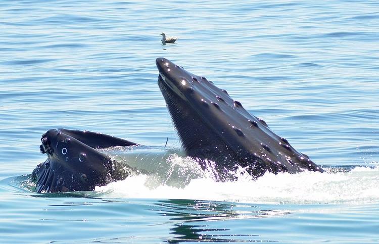 Whale watching Maine coast - tbiveteran | ello