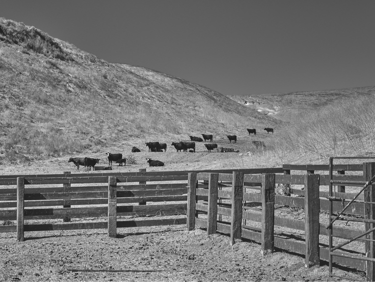 Cat Canyon Cattle. WebSite - monochrome - tychobrown | ello