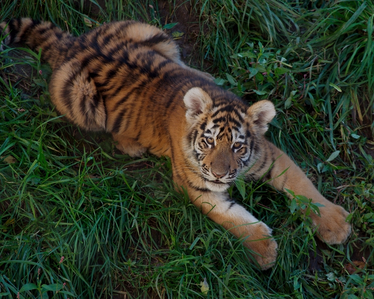 Amur tiger cub - animals, tigers - chetkresiak | ello