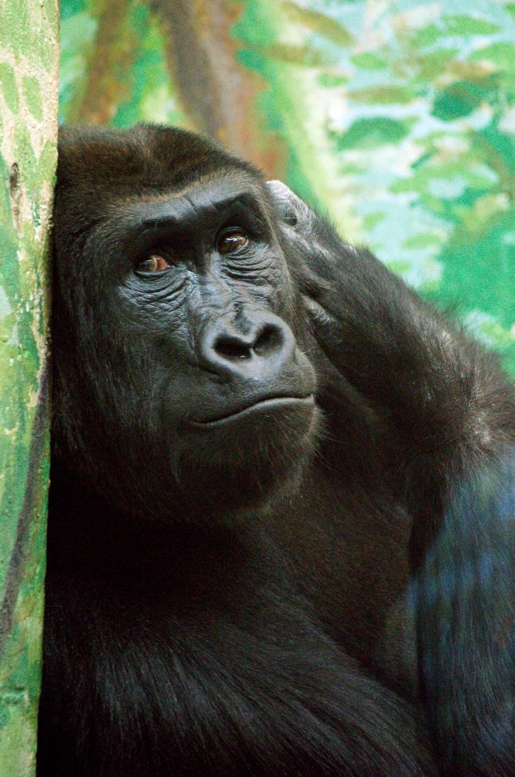 Gorilla - gorillas, apes, animals - chetkresiak | ello