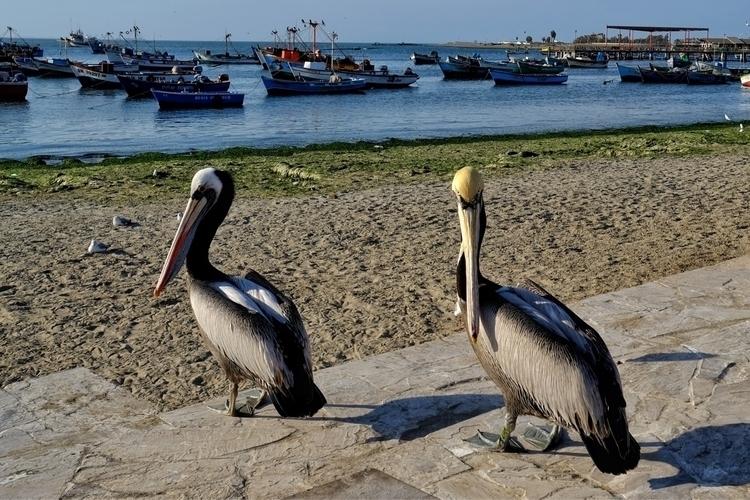 Pelikane sind hier typisch und  - weltfarben | ello