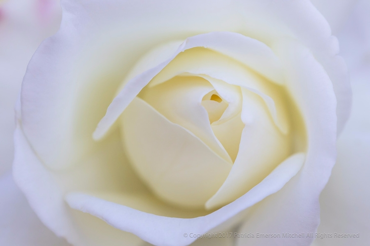 Good Sunday Morning! White Rose - patriciaemersonmitchell | ello
