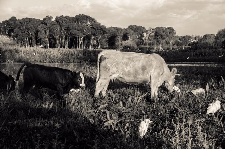cows, landscape, photography - ydoron1 | ello